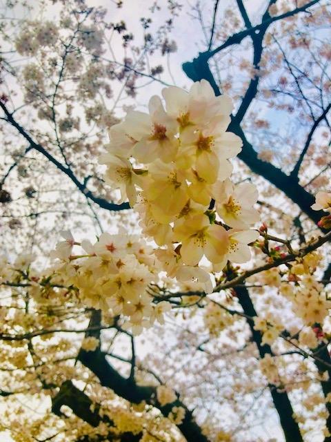 桜です     </div>     <!--//blogArea-->          </div>     <div id=